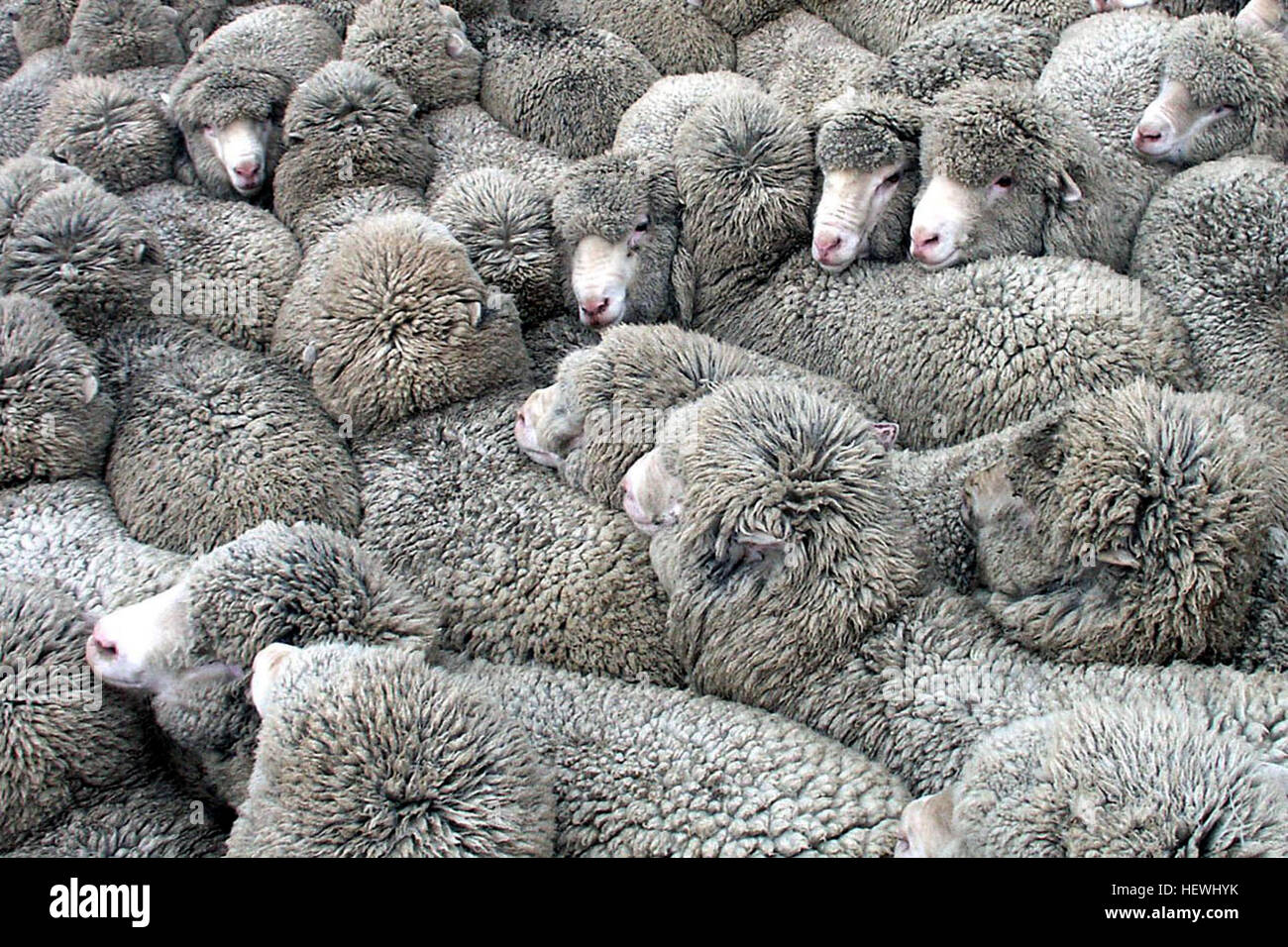 The Merino is an economically influential breed of sheep prized for its wool. The breed origins are from Spain, - Stock Image