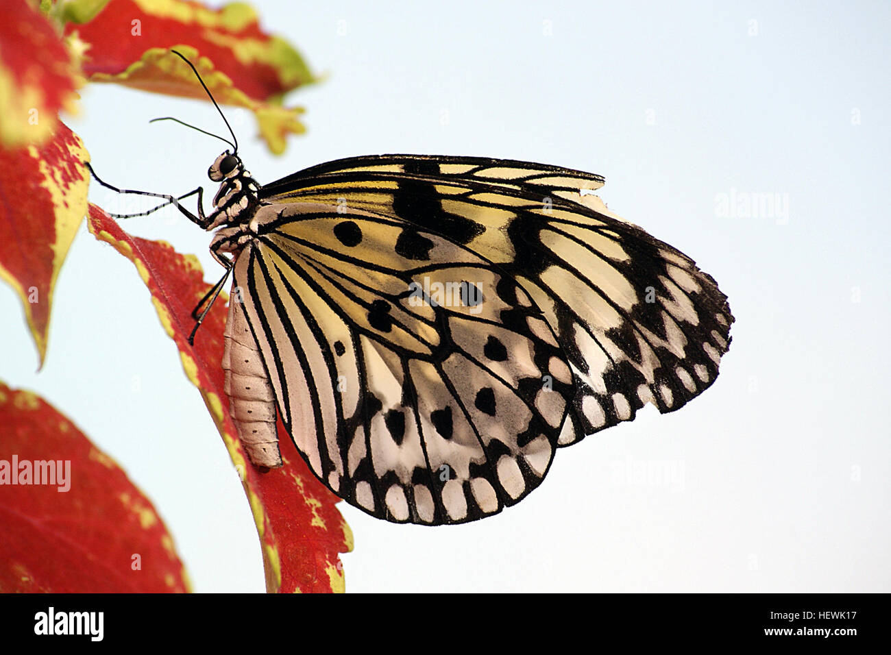 A Paper Kite Butterfly On Red Flowers The Beautiful Paper Kite, or Large Wood Nymph enjoying nectar from a flower. - Stock Image