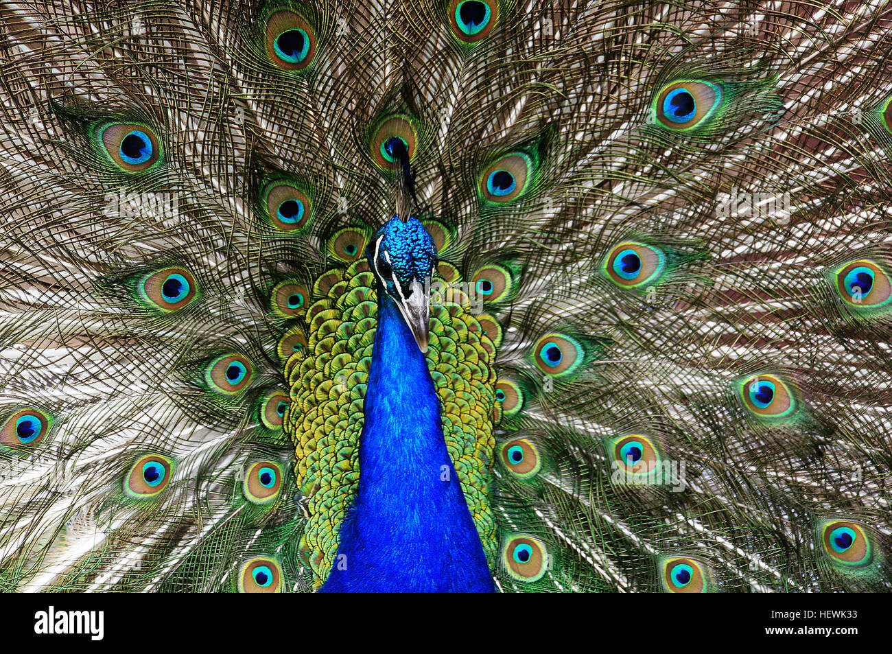 Large Gallery Quality Male Peacock With Exotic Iridescent Train Plumage Statue