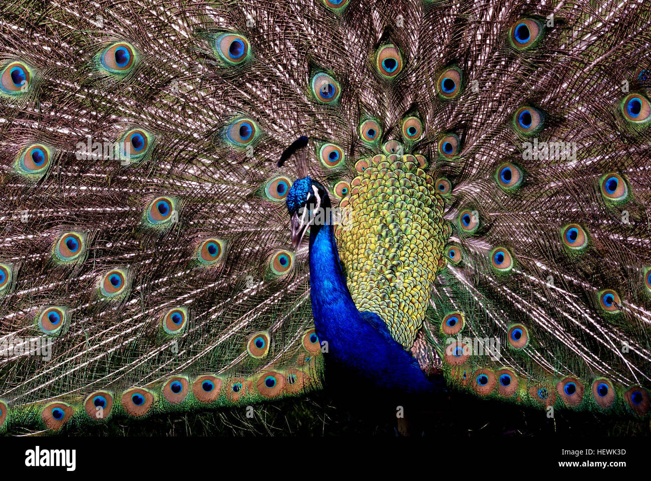 Peafowl are two Asiatic and one African species of flying bird in the genus Pavo of the pheasant family, Phasianidae, - Stock Image