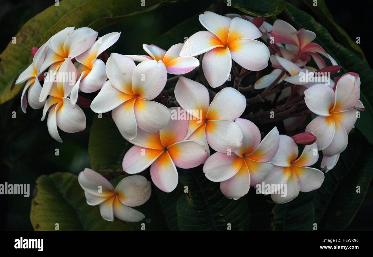 Plumerias Are Tropical Trees Famous For Their Gorgeous Flowers Which