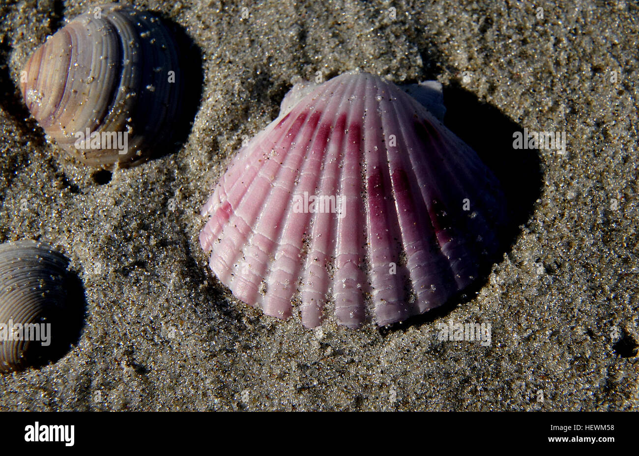 Although they may not look like it, scallops are animals. They are in the Phylum Mollusca, a group of animals that - Stock Image