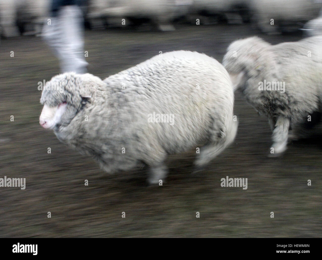 Sheep farming has played a huge part in New Zealand's economy. From 1856 to 1987, it was the most important farming - Stock Image