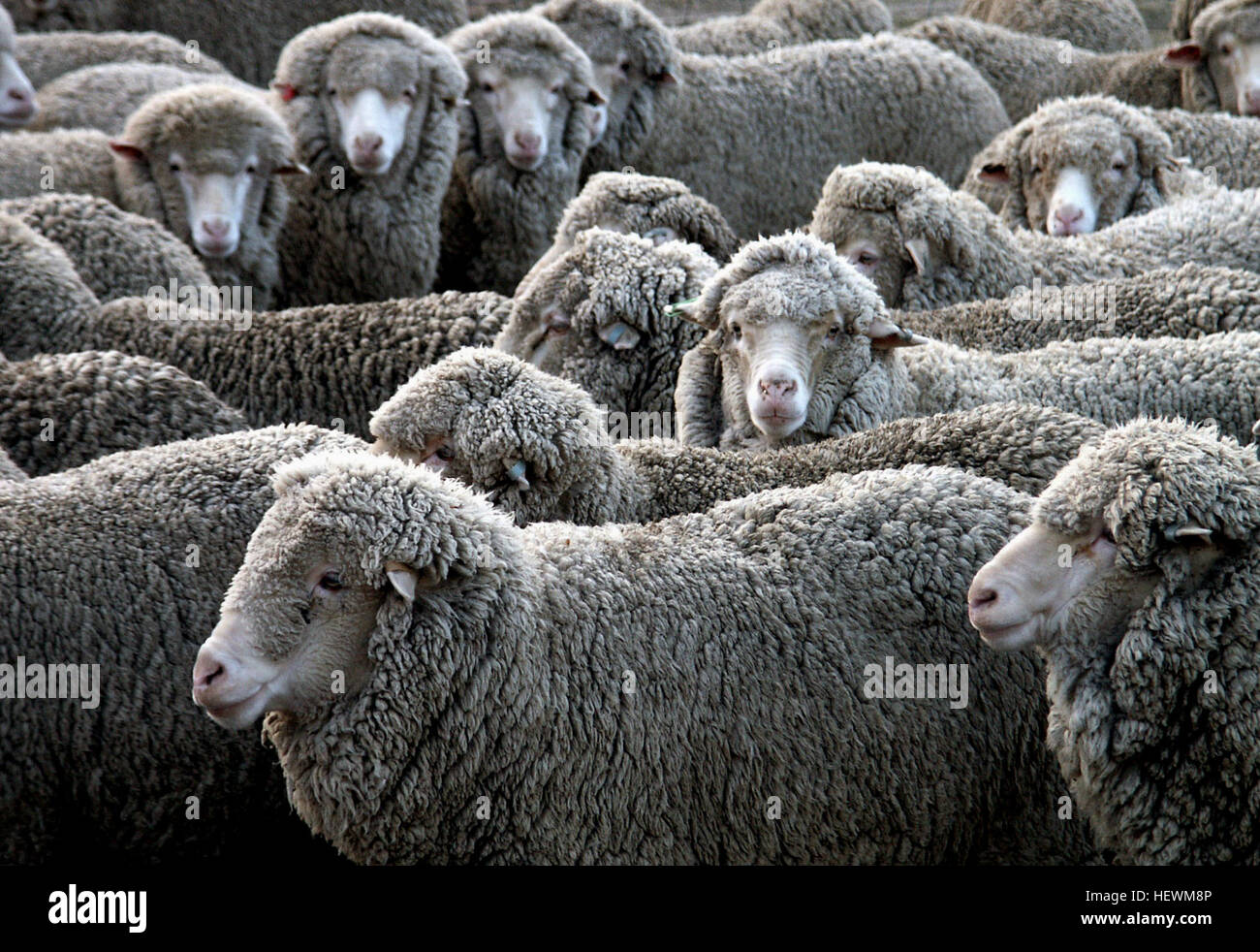 The Merino is an economically influential breed of sheep prized for its wool. Merinos are regarded as having some - Stock Image