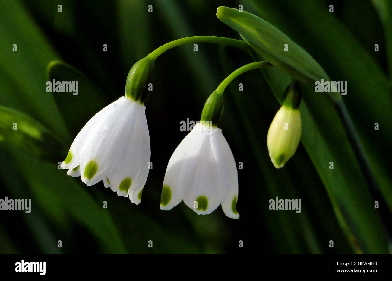 The Lovely Snowdrop Is One Of The First Flowers To Appear In The