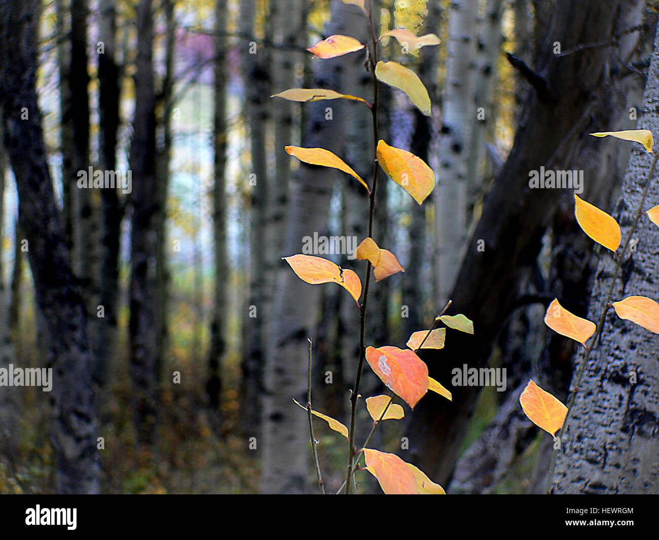 The aspens are all native to cold regions with cool summers, in the north of the Northern Hemisphere, extending - Stock Image