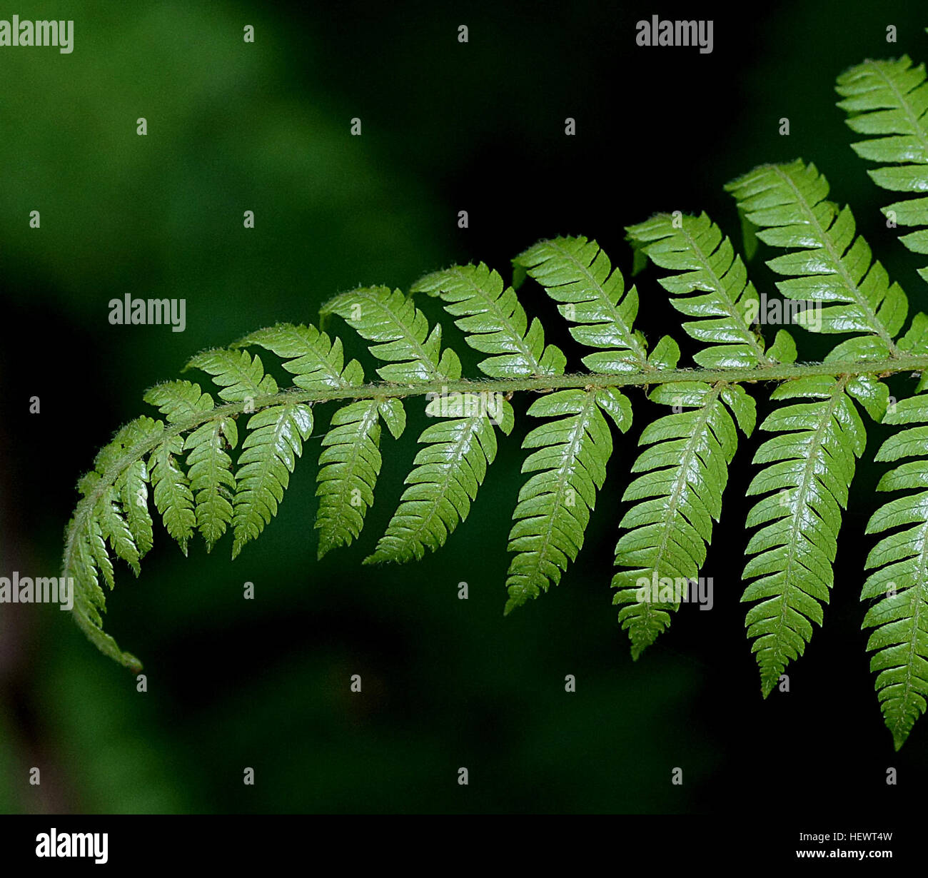 Velvet Fern [Lastreopsis velutina ]A most beautiful New Zealand fern with soft lacy fronds to 50cm tall and covered Stock Photo