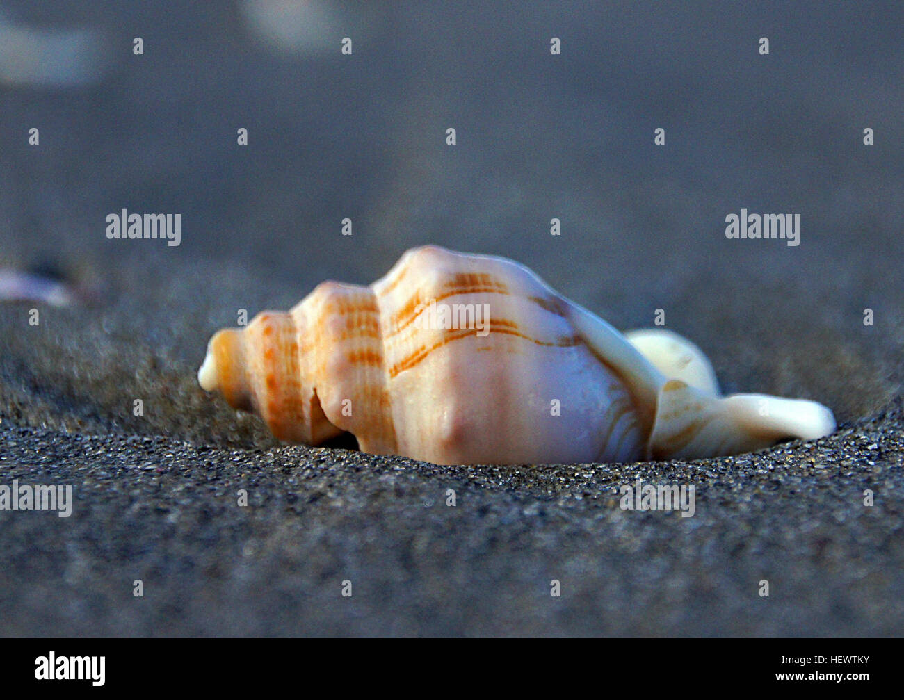 Whelks are snails, but you can easily conjure up an image of a whelk if you think of the term 'sea shell.' - Stock Image