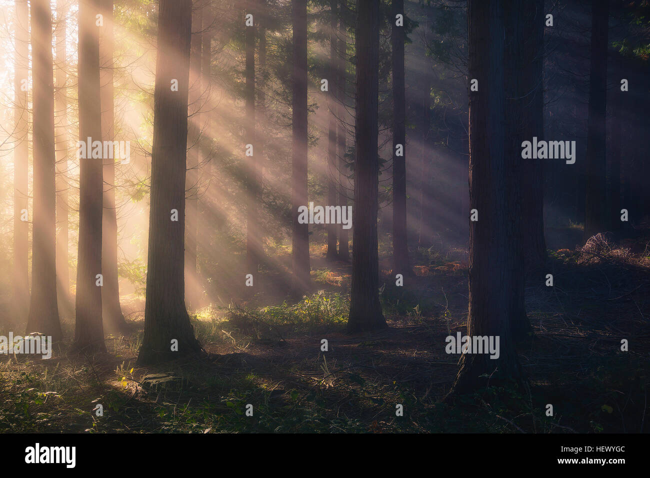 sun rays on forest - Stock Image