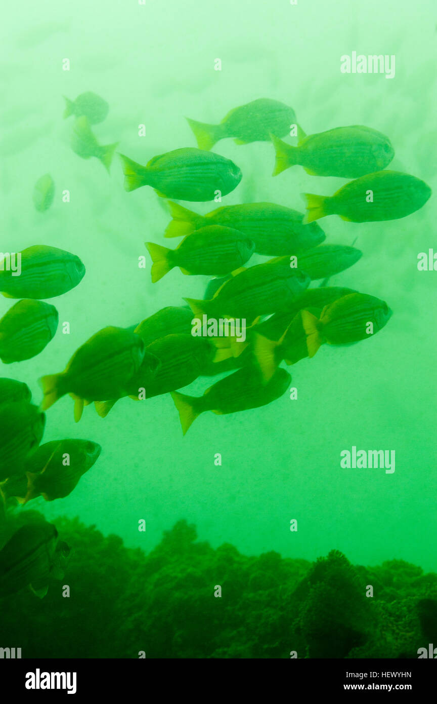 Fish schooling in the green nutrient rich waters if the Gulf of Oman. - Stock Image