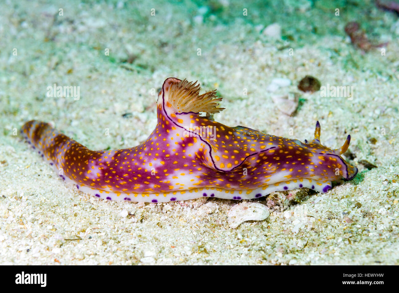 The feather like mantle and bright colors of a Ceratosoma trilobatum nudibranch. - Stock Image