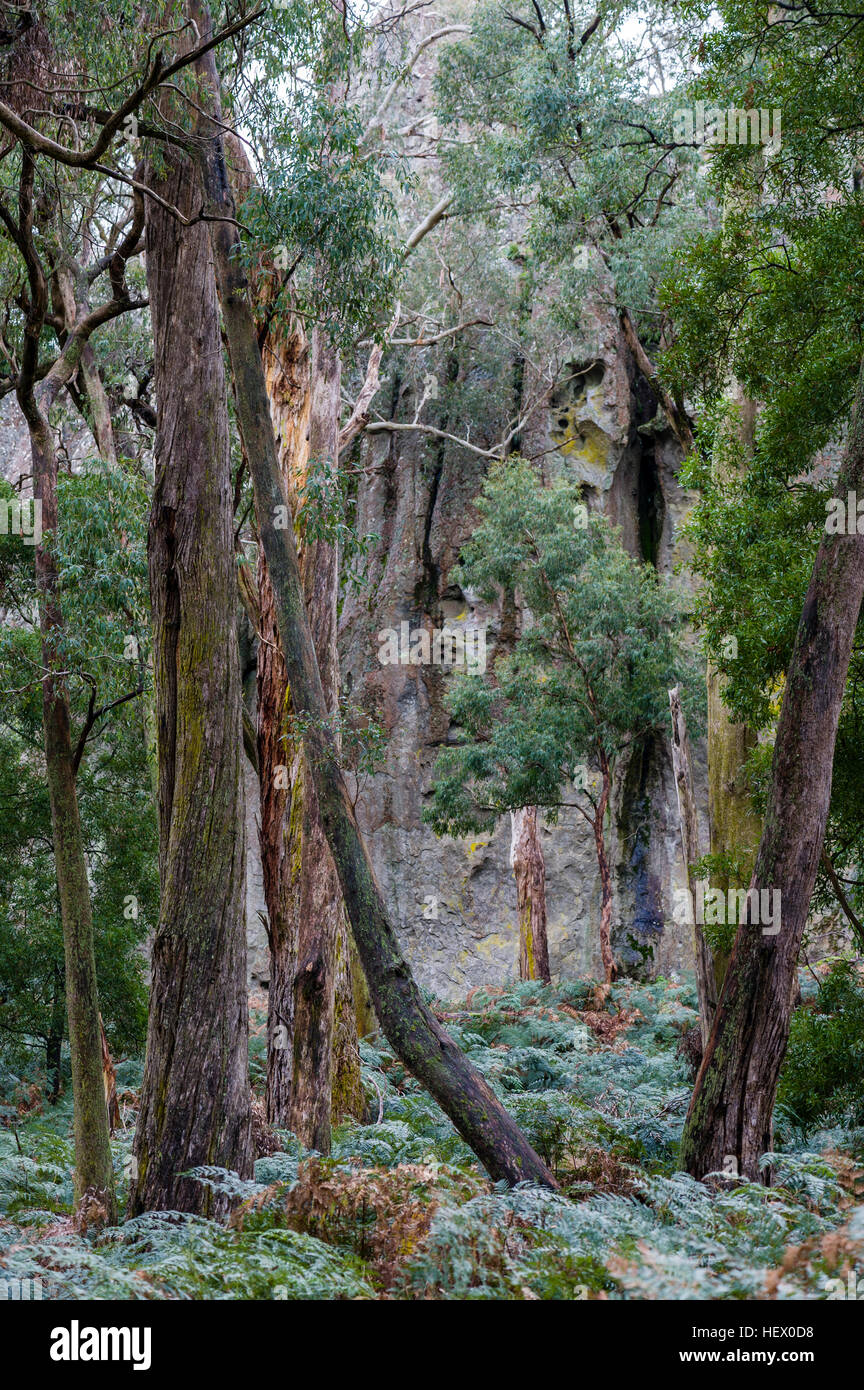 A woodland forest of eucalypt nestled among rock pillars of solvsbergite. - Stock Image