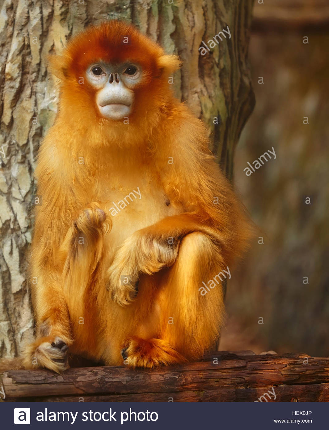 A Golden Snub-nosed monkey, Rhinopithecus roxellana, in Nanjing Zoo, Nanjing, Jiangsu province, China. A highly - Stock Image
