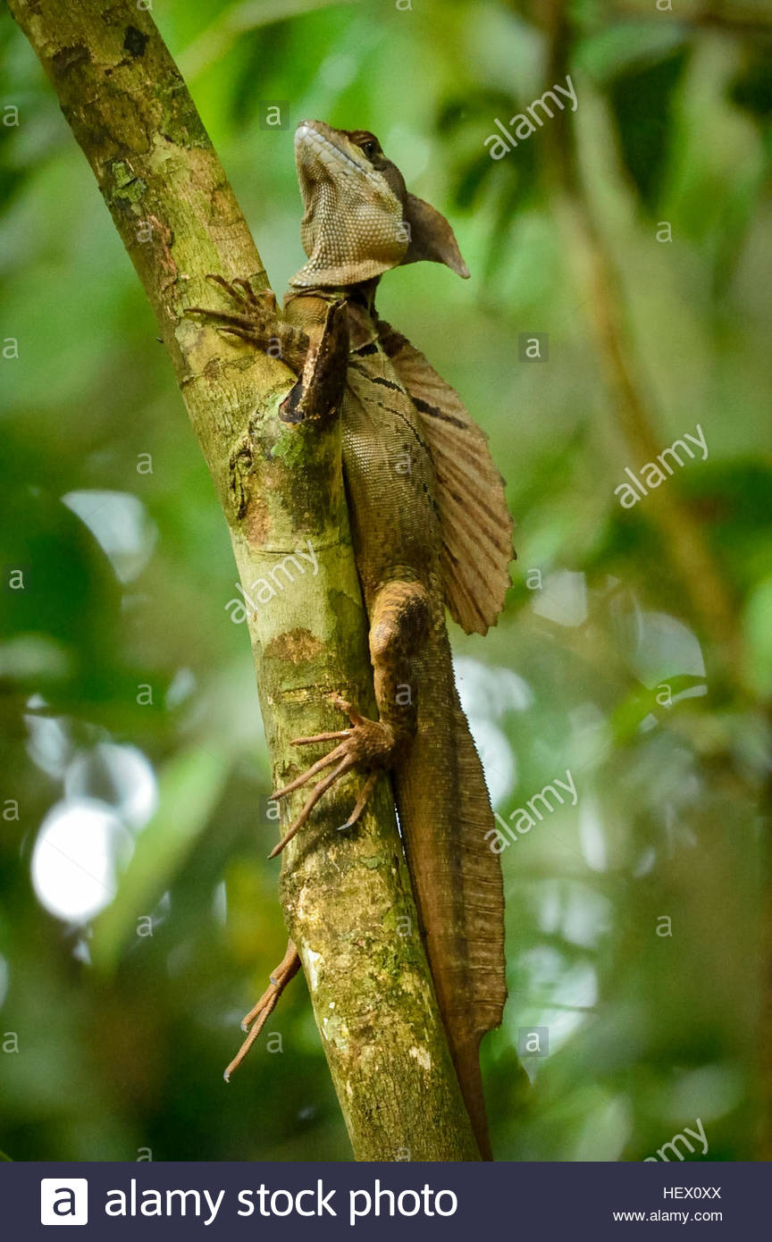 Plumed basilisk (Basiliscus plumifrons) or Jesus Christ lizard, because of its ability to run short distances across Stock Photo