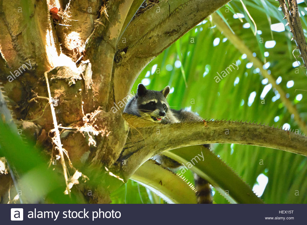 A raccoon (Procyon lotor) panting in a palm tree in Manuel Antonio National Park, one of the smallest and most visited - Stock Image