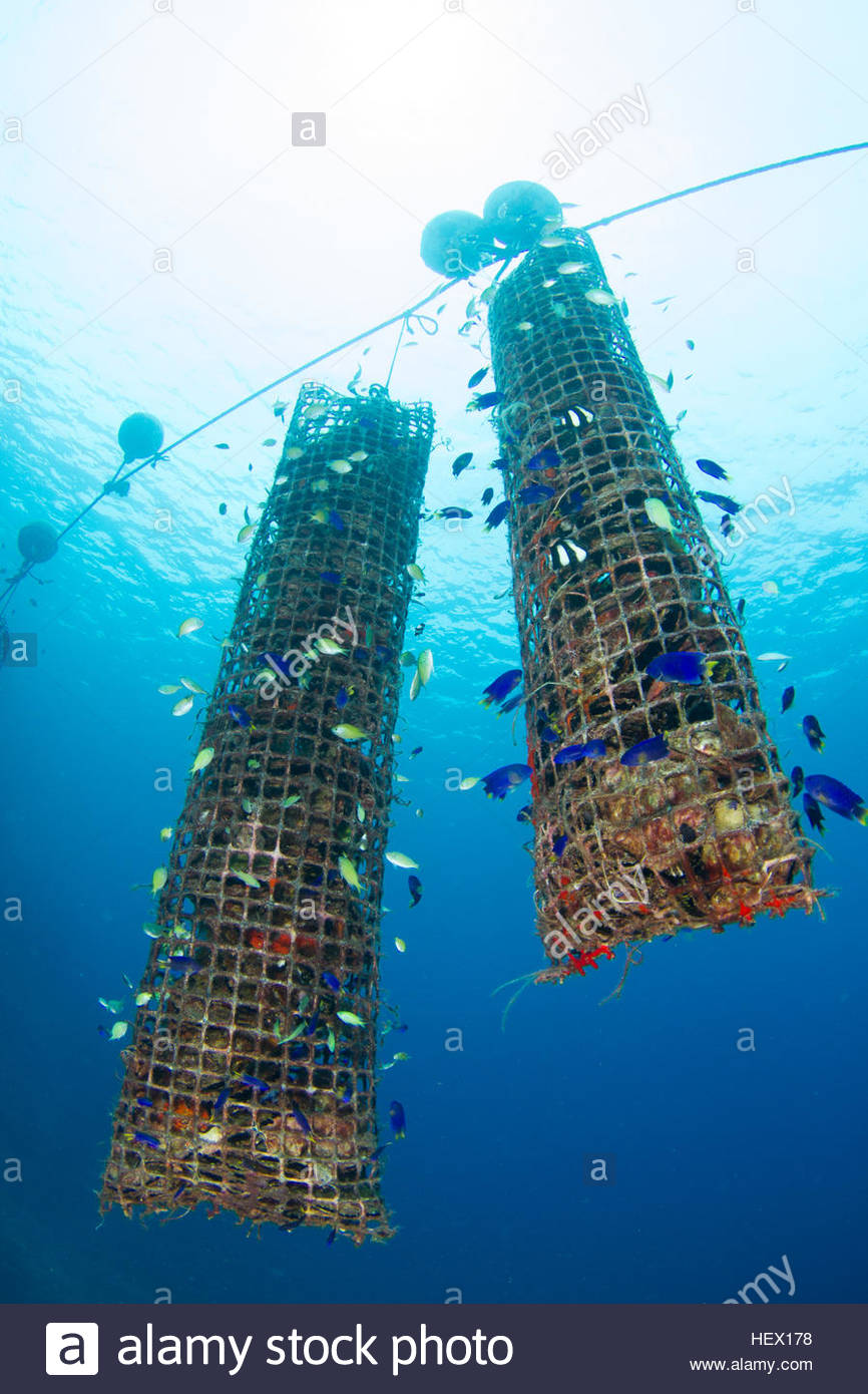 Tahitian pearl oyster rearing baskets double as shelter for young fish. - Stock Image