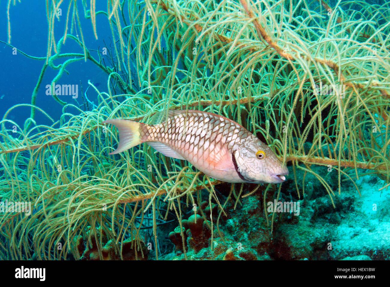 A stoplight parrotfish, Sparisoma viride, foraging for algae in a Caribbean reef. - Stock Image