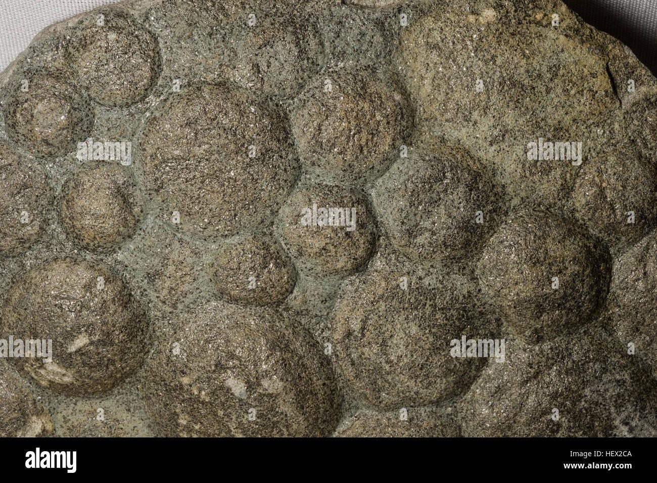 Fossil organism, Nemiana simplex, Ediacaran, Kamenez-Podolskiy, Ukraina - Stock Image