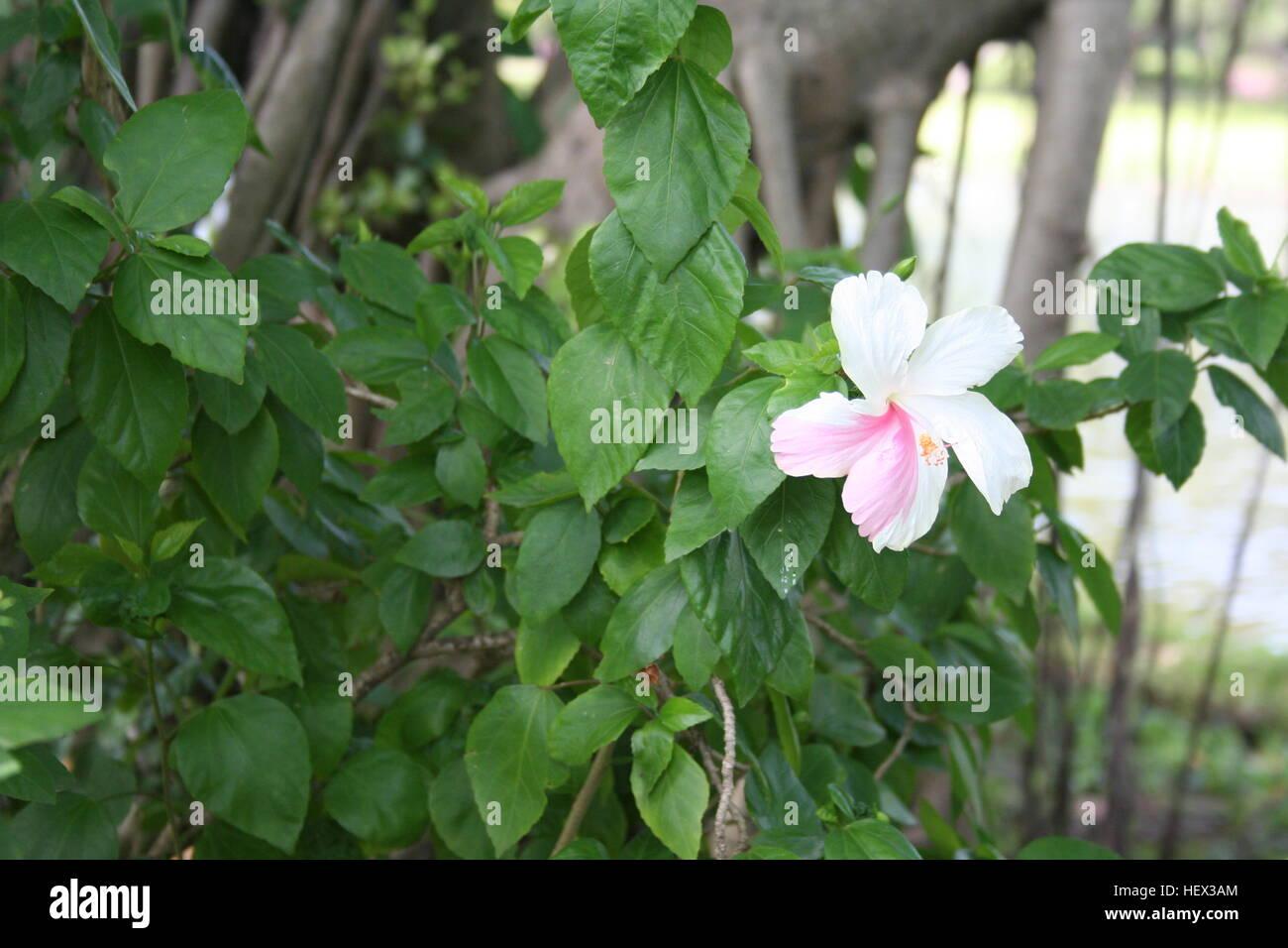 Pink White Orange Hibiscus Flower Stock Photos & Pink White Orange ...