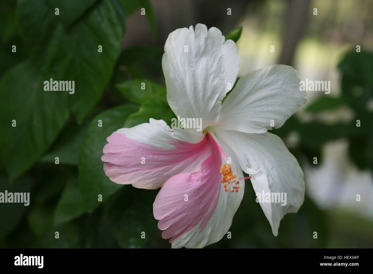 Pink And White Hibiscus Flower In Garden Stock Photos Pink And