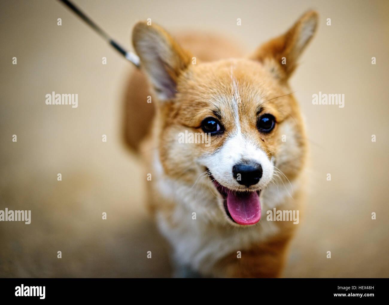 Welsh Corgi Pembroke dog sticking out tongue - Stock Image