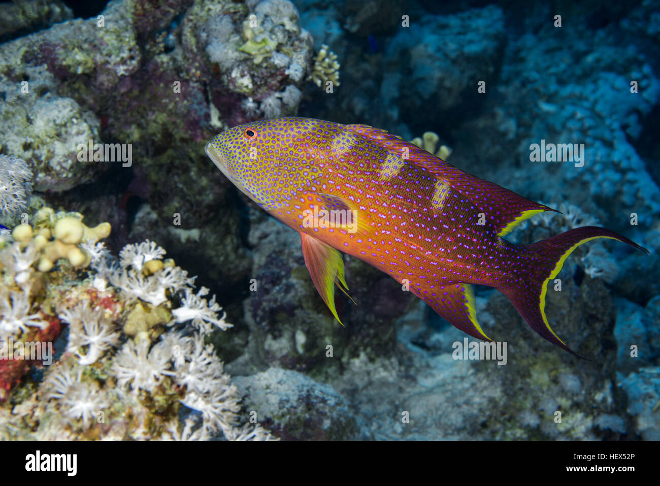 Yellow-edged lyretail, Lyretail grouper or Caramel cod (Variola louti) floats on a background of a coral reef, Red - Stock Image