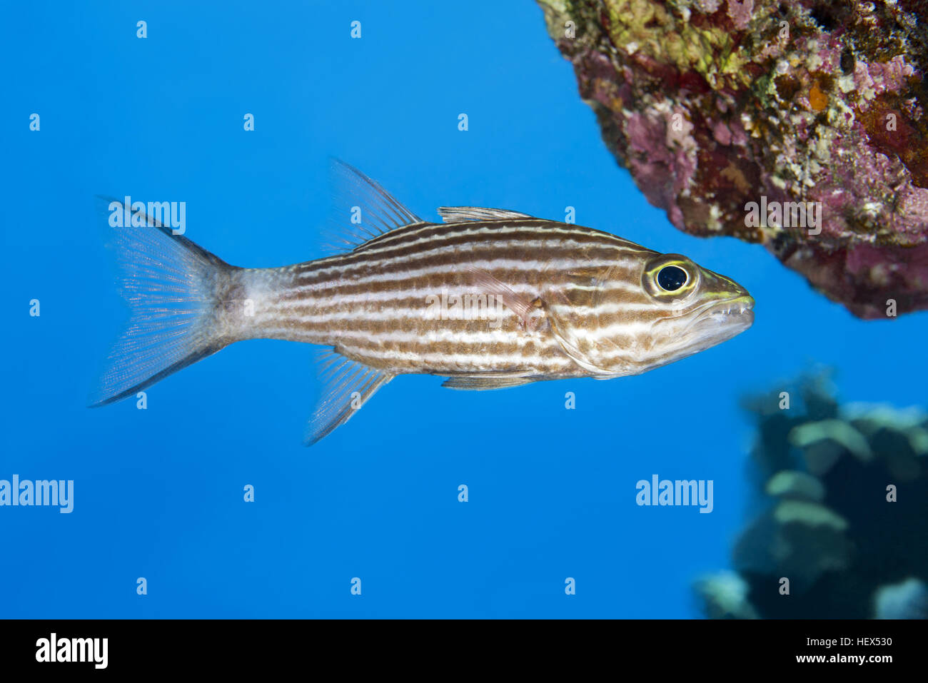Largetoothed Cardinalfish, Pacific tiger cardinalfish or Big-toothed cardinal (Cheilodipterus macrodon) swims near Stock Photo