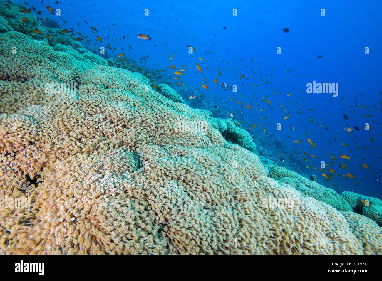 Bright orange school of fish Sea Goldie or Lyretail Anthias (Pseudanthias squamipinnis) swims near flowerpot coral - Stock Image