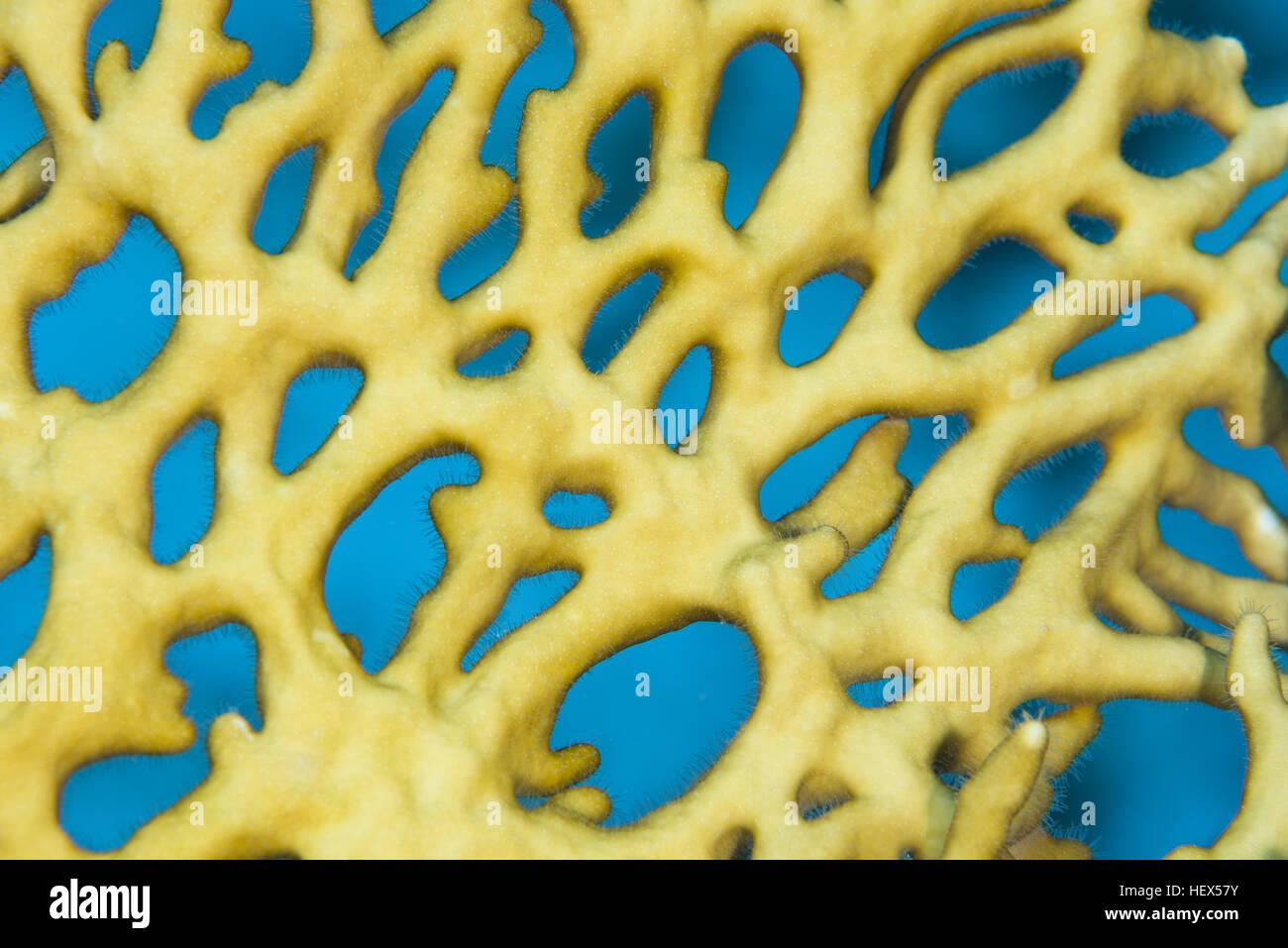 Close-up - Net Fire Coral (Millepora dichotoma) Red sea, Sharm El Sheikh, Sinai Peninsula, Egypt - Stock Image