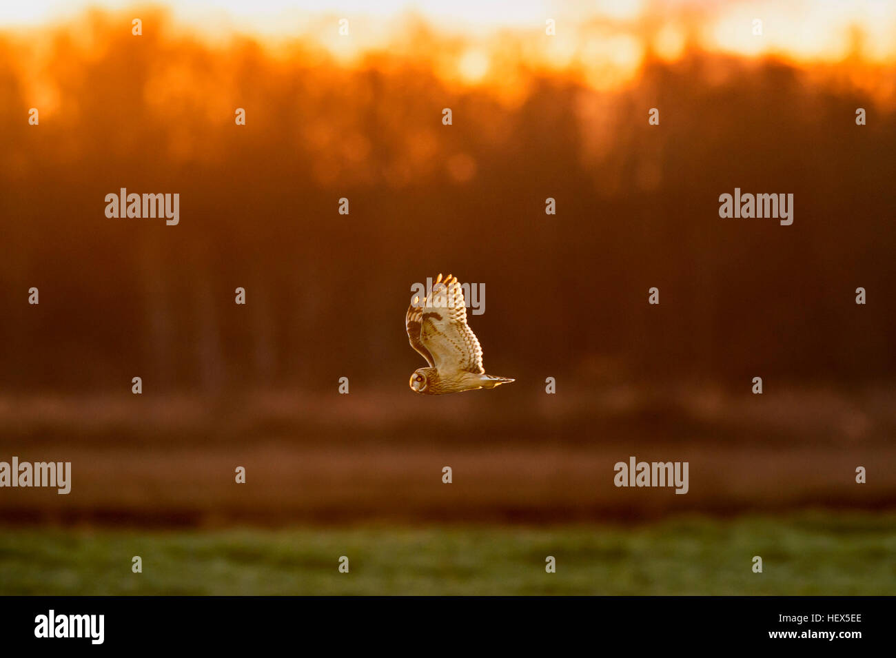 A Short-eared Owl flying around searching for food just before sunset. - Stock Image
