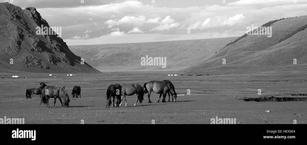 Horses grazing, Chuluut Valley, Arkhangai, Mongolia - Stock Image