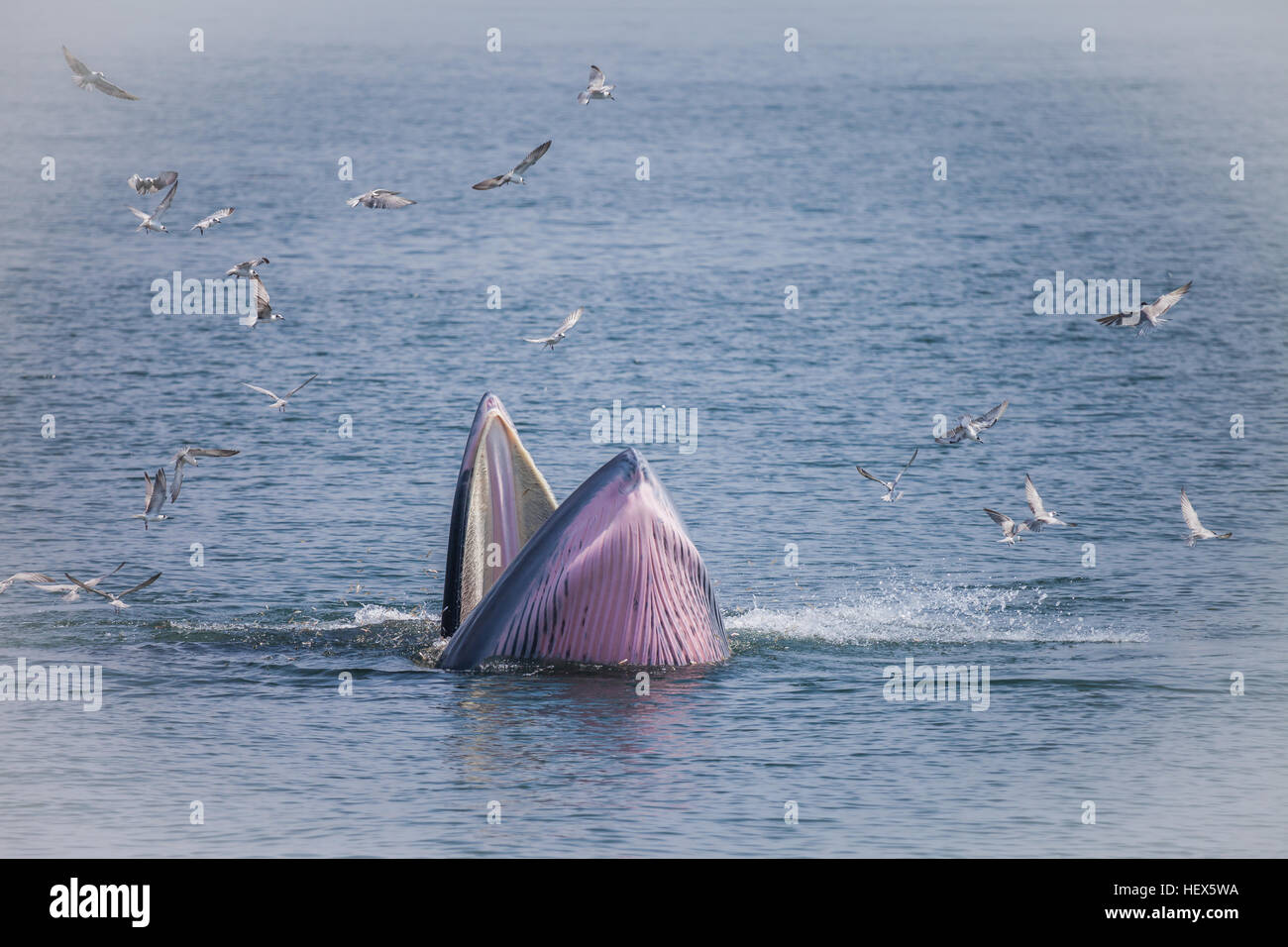 Bryde's whale or the Bryde's whale complex  putatively comprises two species of rorqual and maybe three. - Stock Image