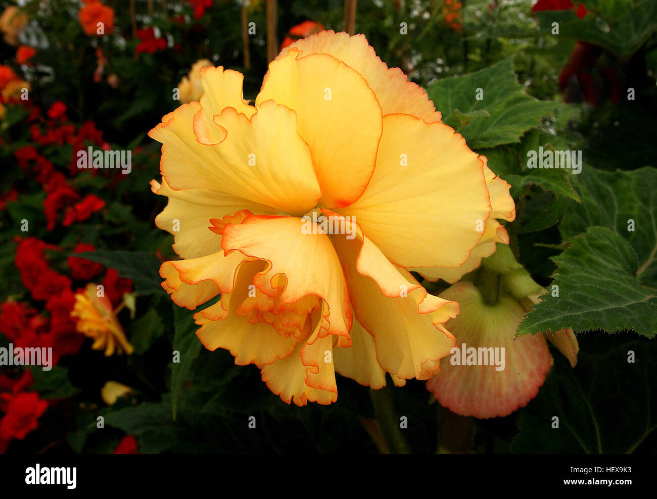 Begonia Is A Genus Of Perennial Flowering Plants In The Family Stock