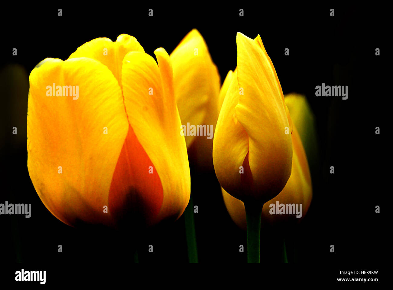 With All Of The Sentiments And Meanings Of Tulips Its Not Stock