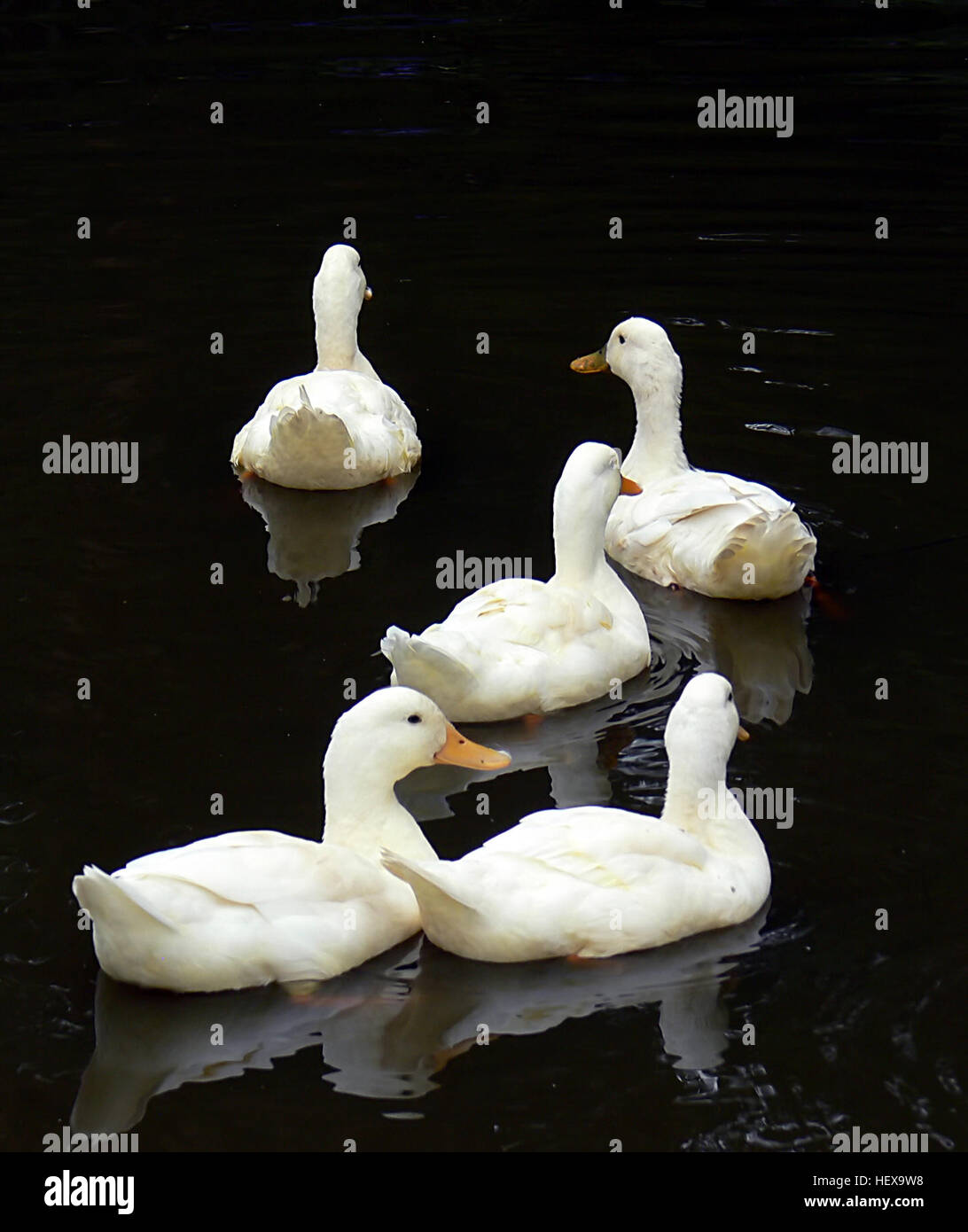 The Aylesbury duck is a breed of domesticated duck, bred mainly for its meat and appearance. It is a large duck - Stock Image