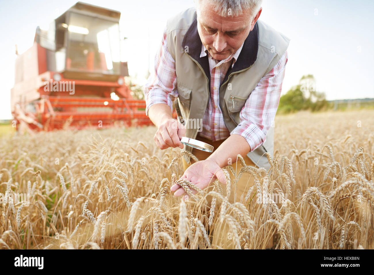 Farmer in wheat field quality checking wheat with magnifying glass - Stock Image
