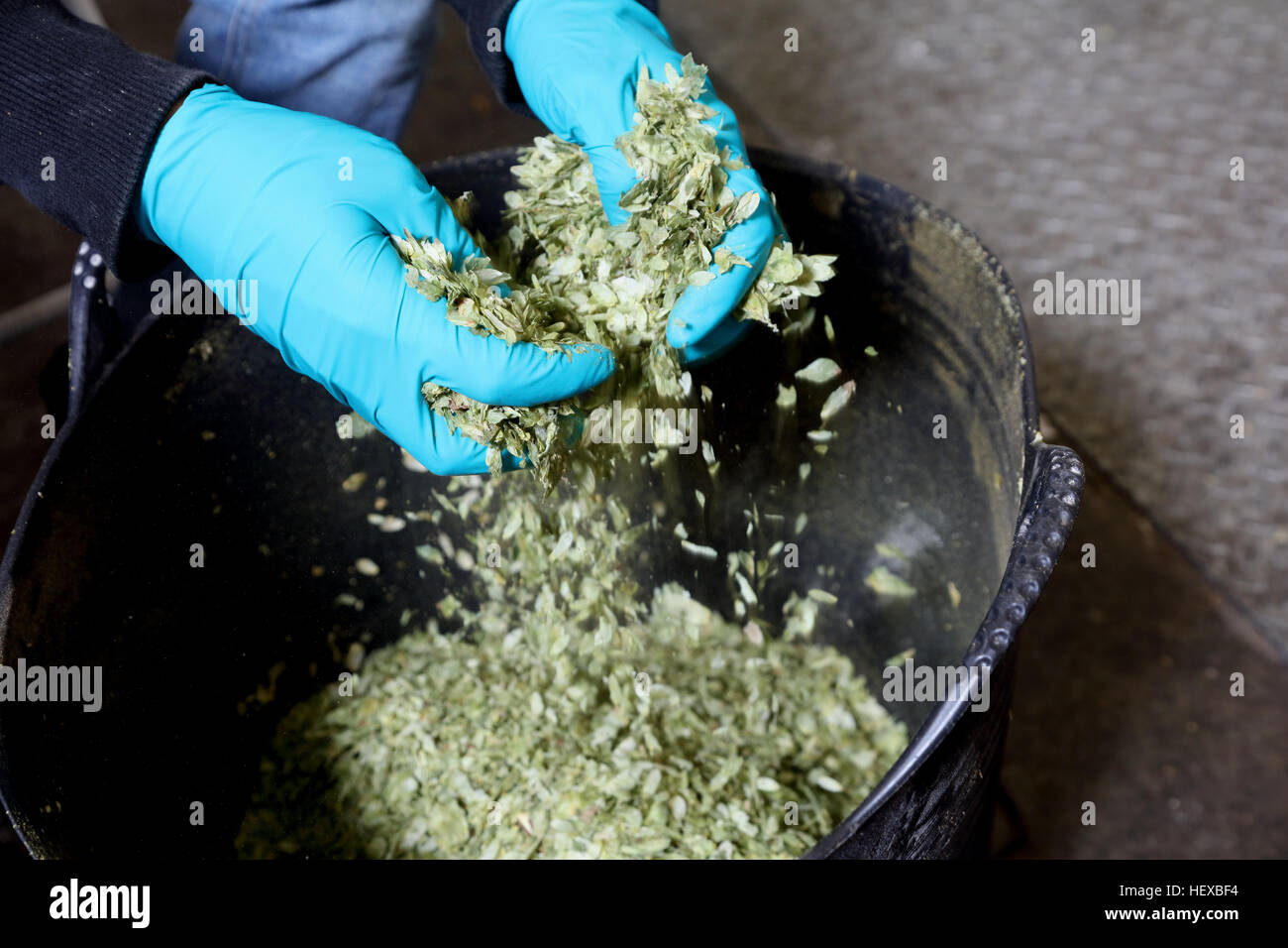 Worker in brewery breaking up hops, close-up - Stock Image