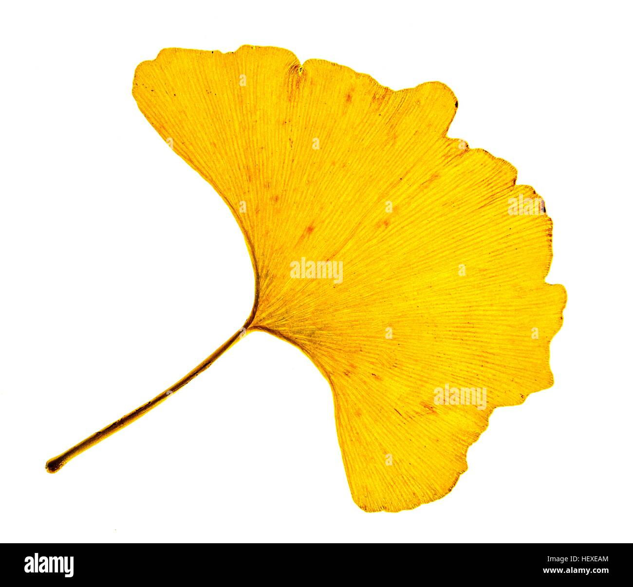 Ginkgo leave in autumn.Leaves of Chinese maidenhair tree (Ginkgo biloba).This two-lobed leaf is unique among trees,in - Stock Image