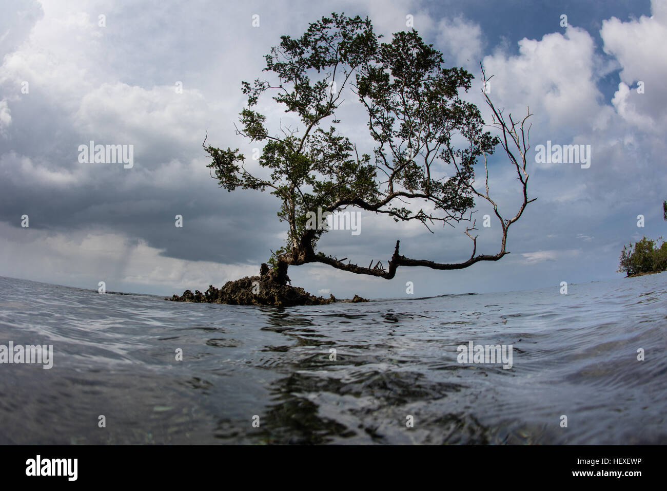 A small tree has grown on a limestone outcrop in Marovo Lagoon, the Solomon Islands. - Stock Image