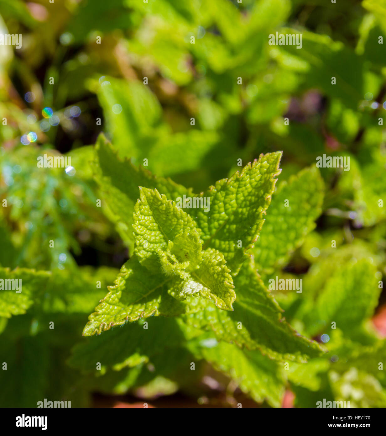 mint plant growing in herb garden - Stock Image