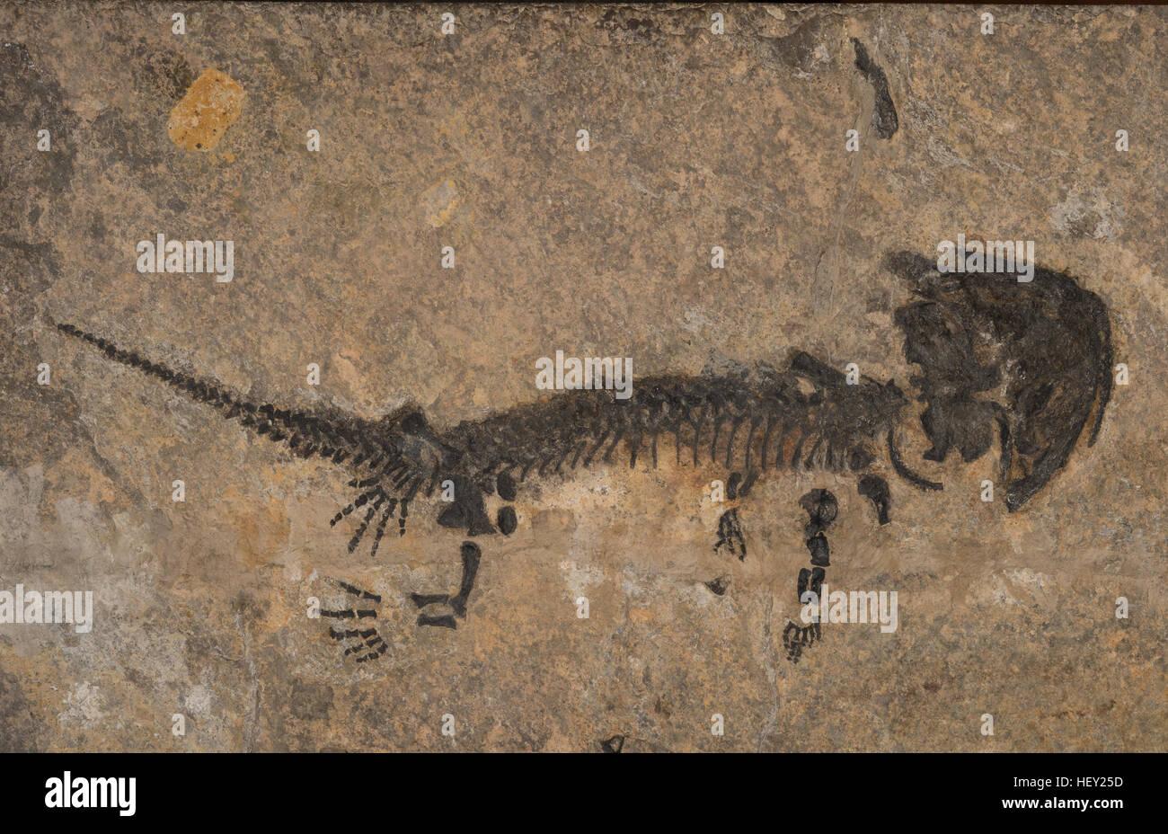 Fossil stem-tetrapod, Discosauriscus pulcherrimus, Discosauriscidae, Cenomanian Layers, Permian Period, Boskovice - Stock Image