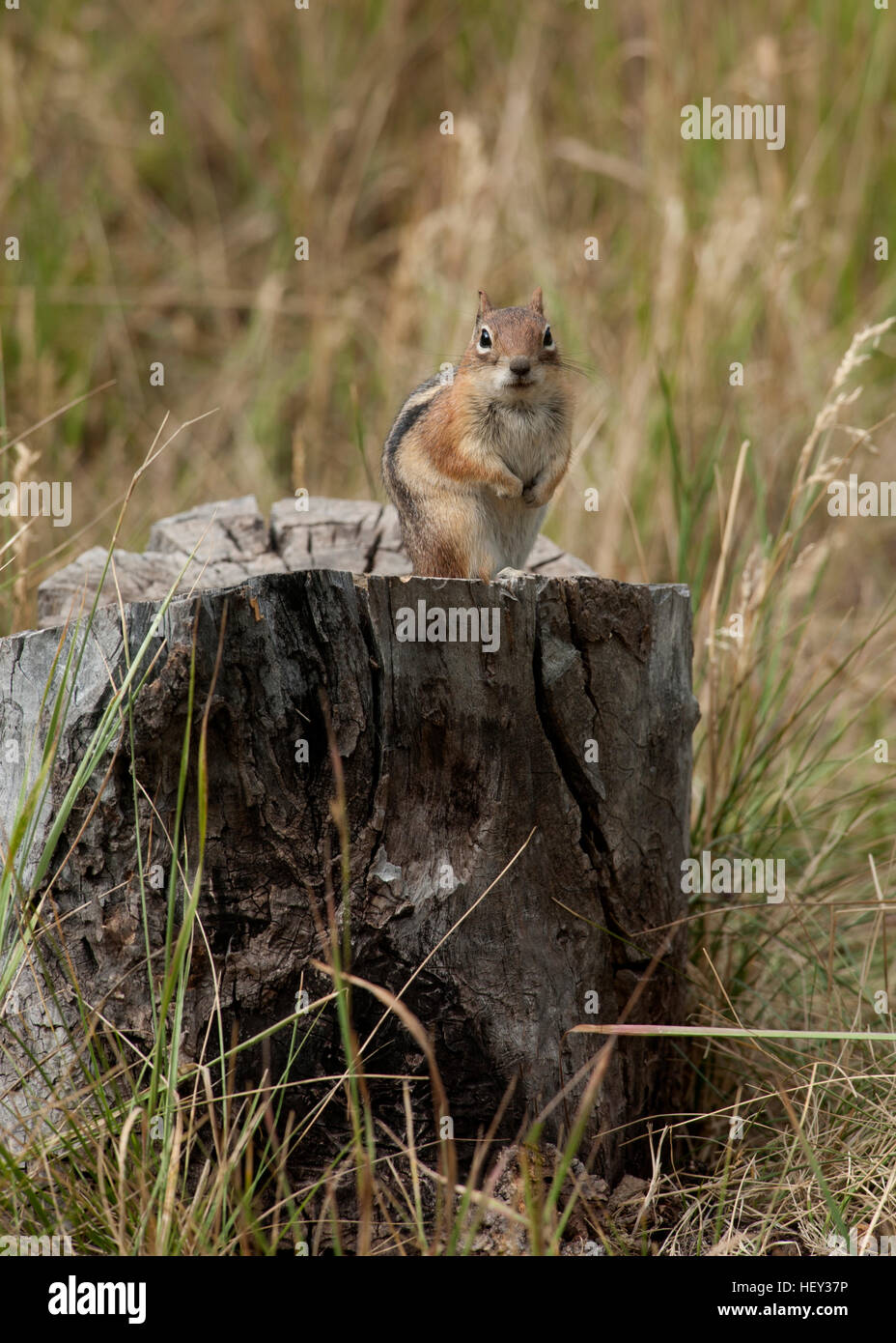 A Golden Mantled Ground Squirrel (Callospermophilus lateralis) watches from a stump - Stock Image