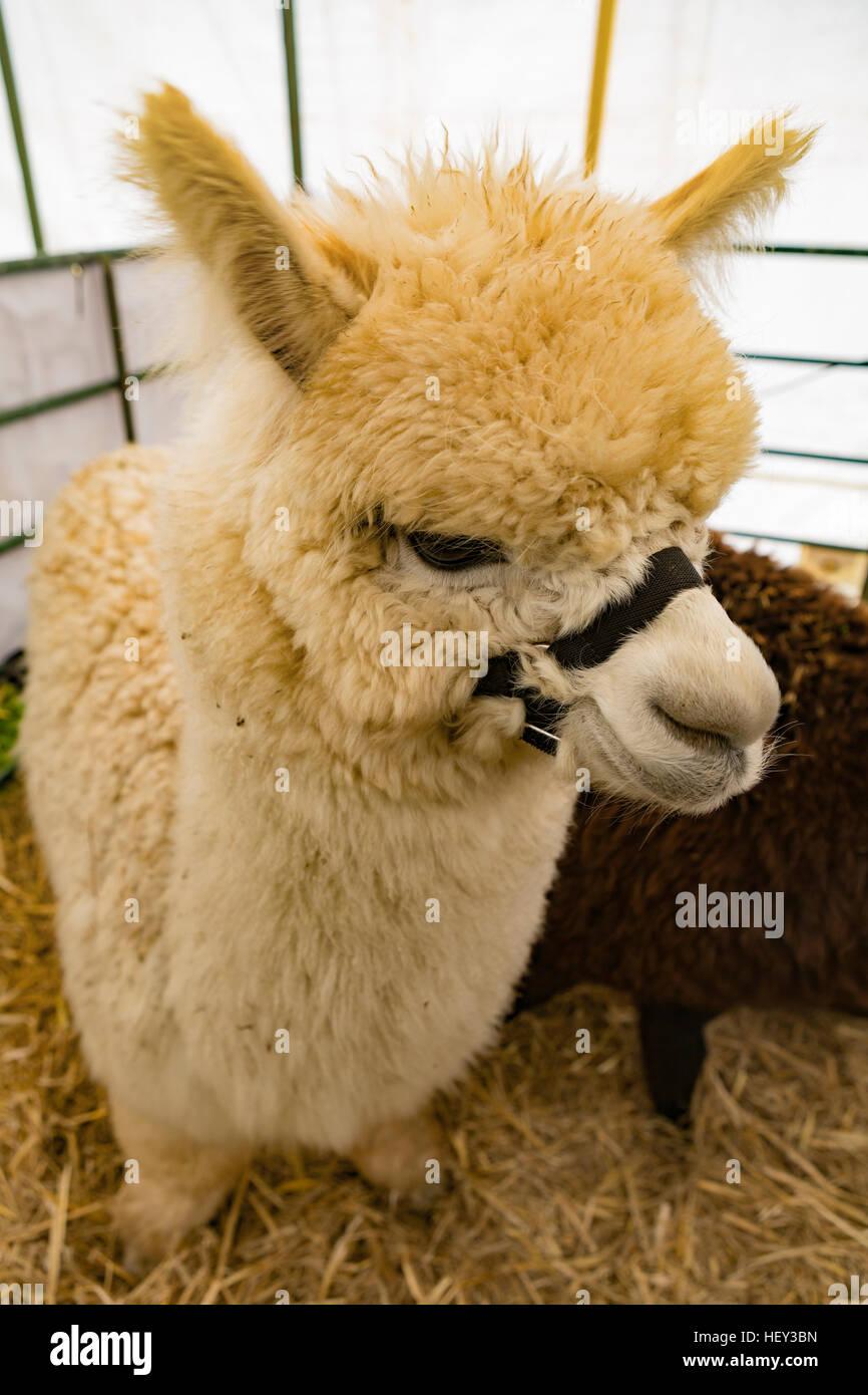 An Alpaca in a pen at a livestock show Stock Photo