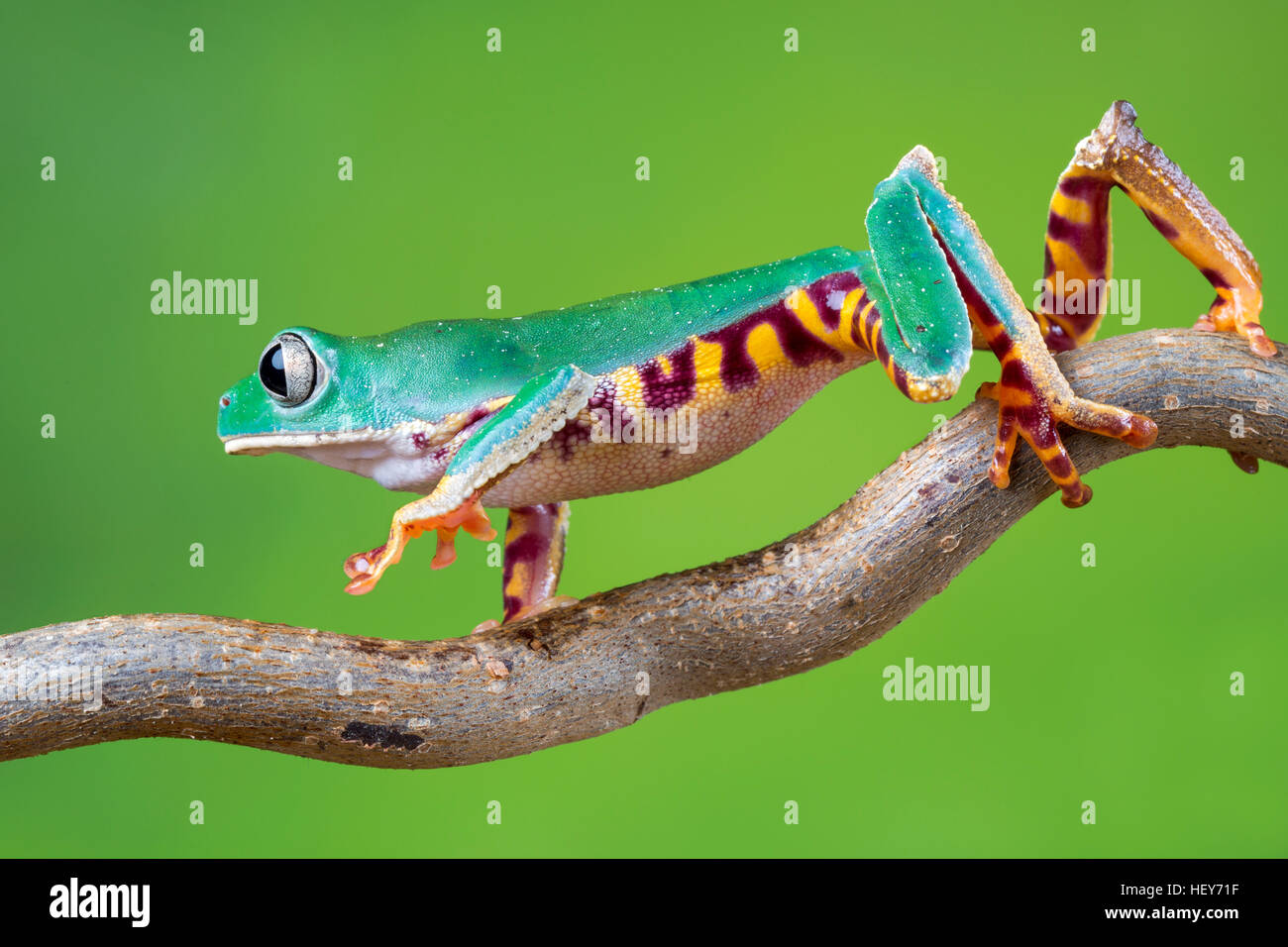 Super tiger legged waxy monkey frog - Stock Image