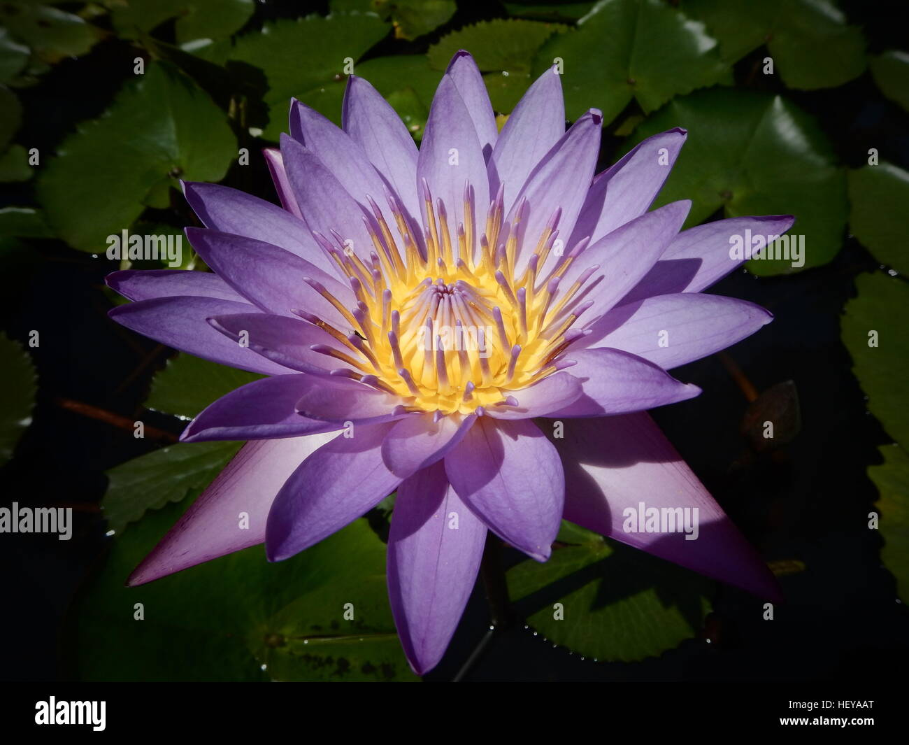 This Is A Purple Flower In The Philippines Stock Photo 129678608