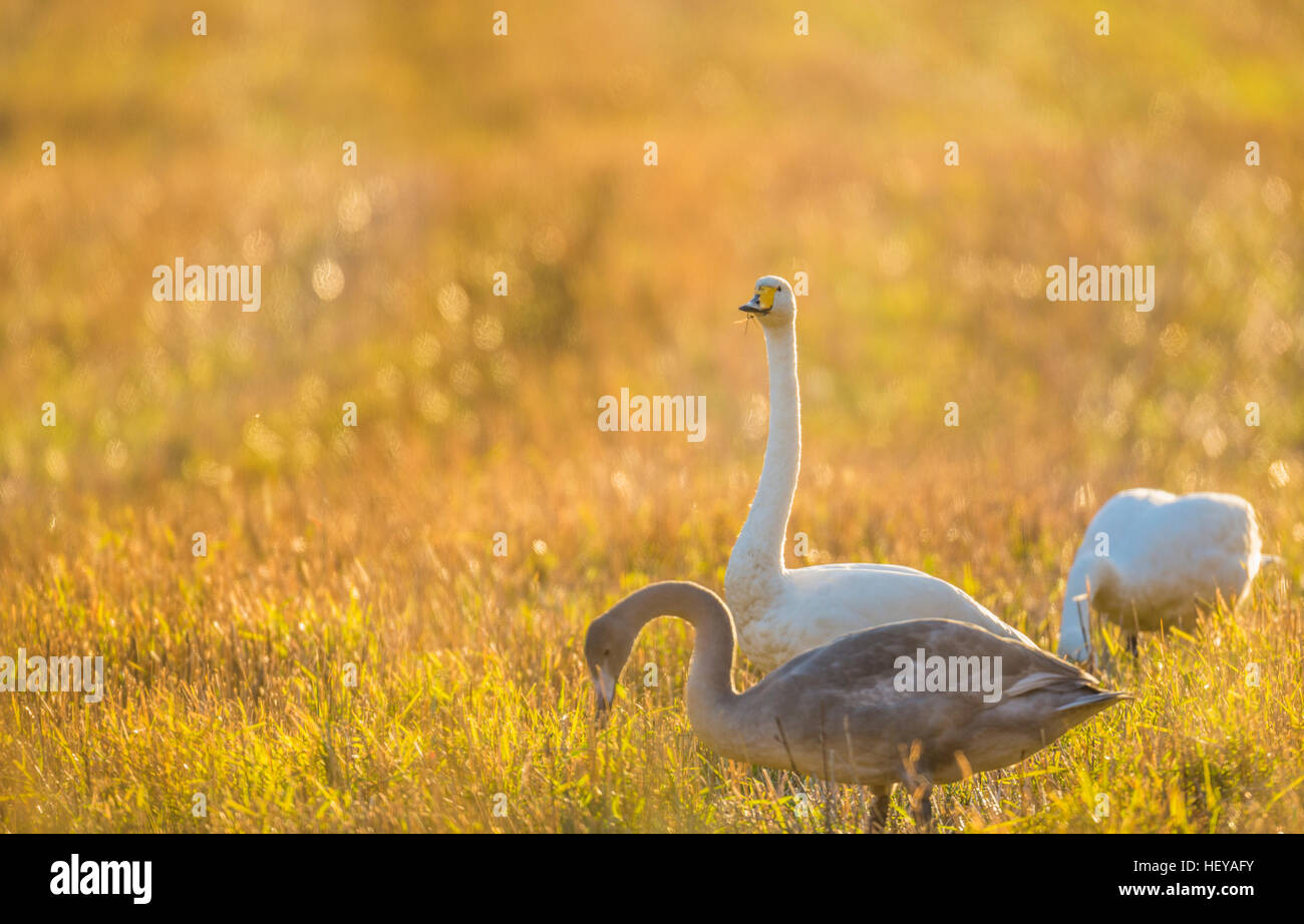 Whooper swans, Cygnus cygnus, on a field, one is looking in to the camera, Norrbotten, Sweden - Stock Image