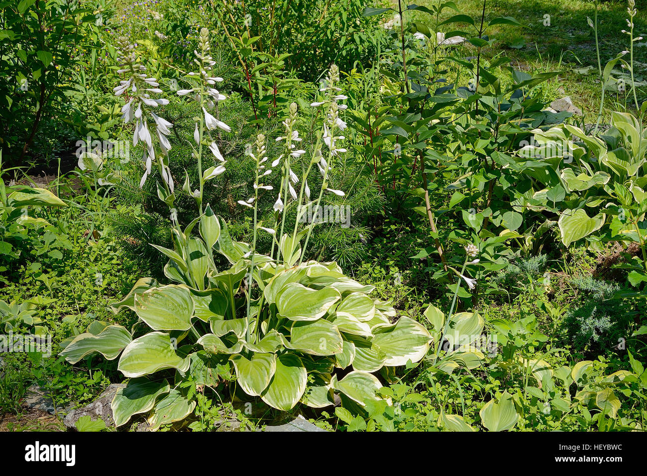 Garden plant hosta with white flowers and decorative leaves stock garden plant hosta with white flowers and decorative leaves mightylinksfo