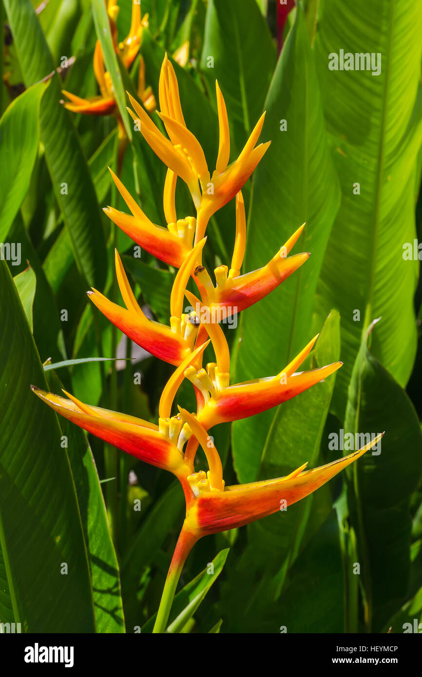 Heliconia Lobster-claws Flower in the garden - Stock Image