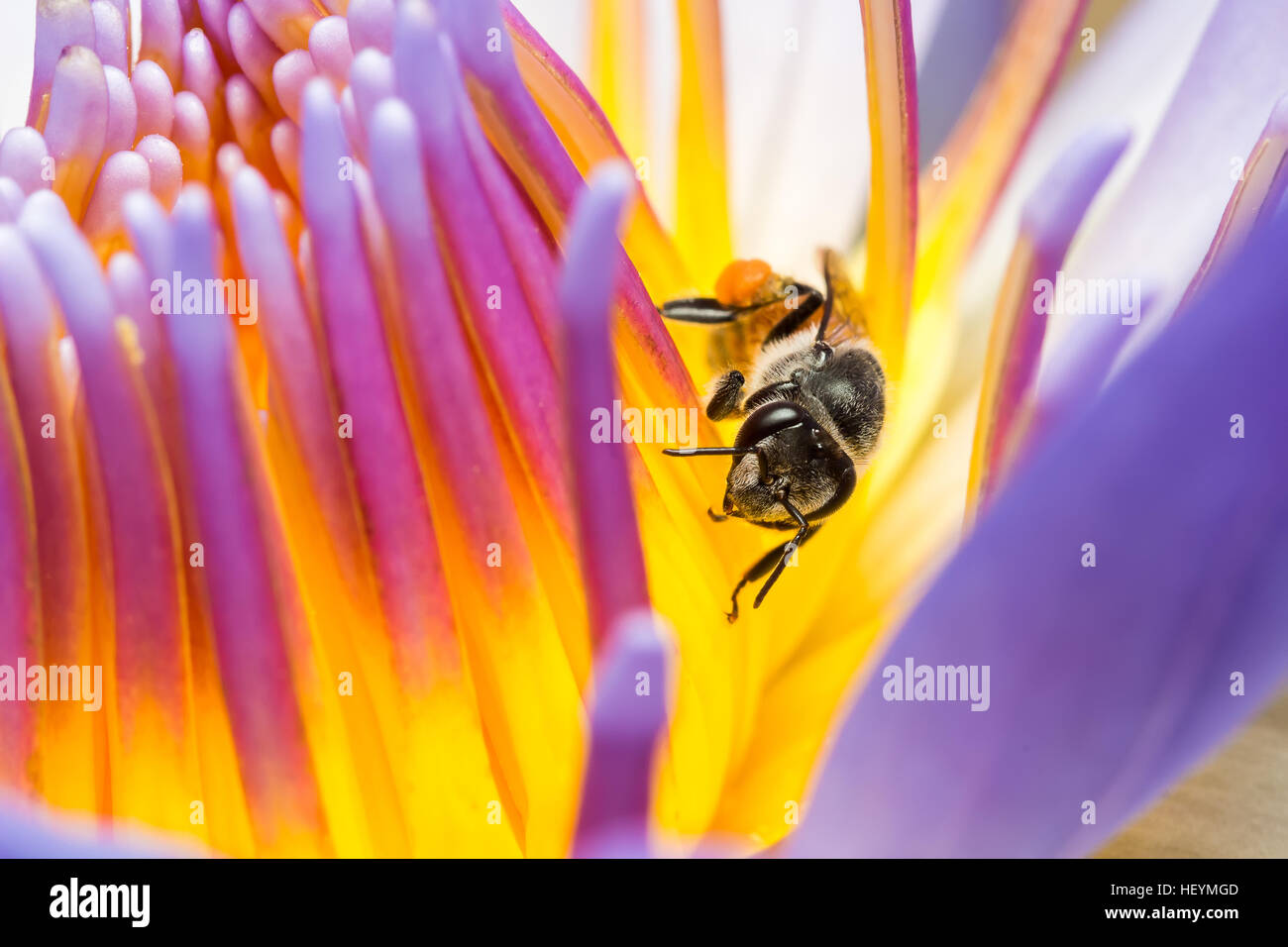 Lotus eating stock photos lotus eating stock images alamy bee eating eating syrup in the lotus stock image mightylinksfo
