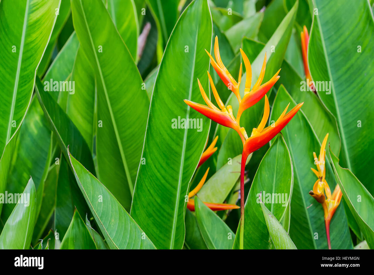 Heliconia, Lobster-claws in the garden - Stock Image